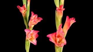 Распускающиеся цветы(видео о цветах., 2016-05-05T09:38:53.000Z)