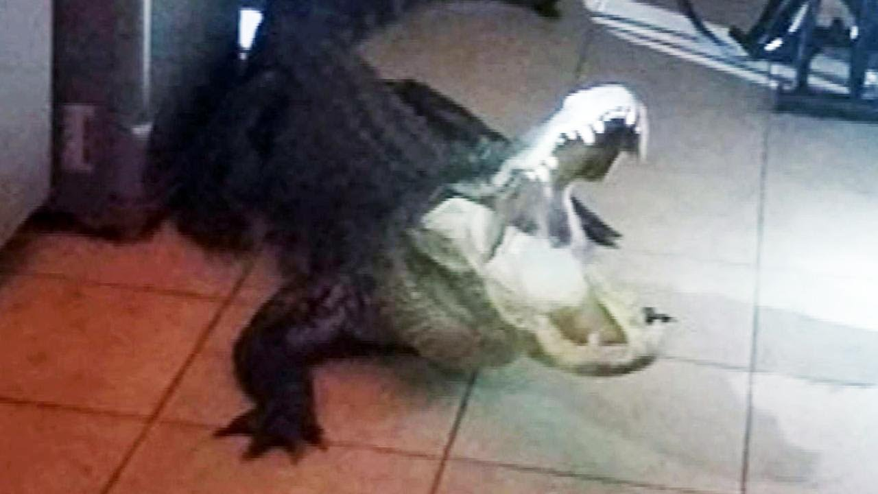 Gigantic Alligator found in home