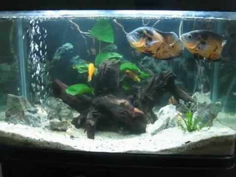 Bể cá tai tượng và cá thập cẩm