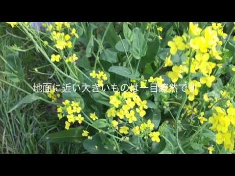 菜の花(アブラナ)とカラシナの見分け方