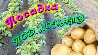 видео Как сажать картофель под лопату?