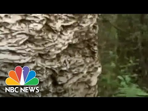 Massive Wasp Nest Removed In Florida | Archives | NBC News