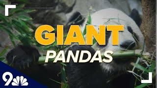 Giant pandas recently taken off endangered list