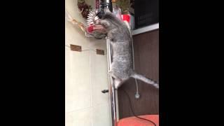 Кошка турник-мэн