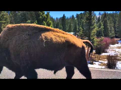 Wildlife Encounter at Yellowstone  National Park  April 2016