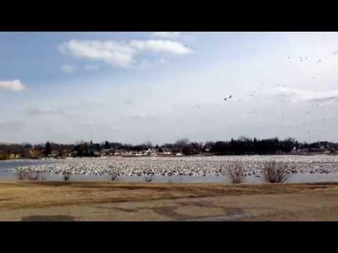 North American Snow Geese Migration in Eureka South Dakota