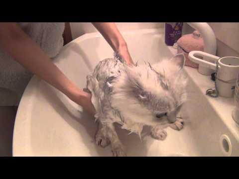 ペルシャ猫クライフ君の入浴の巻
