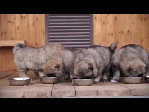 Щенки кавказской овчарки | Белый Лекарь