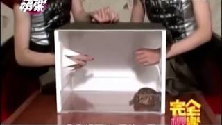 BABYMETAL 蛙