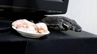 レースモニターささみ食す Lace monitor eats scissors.