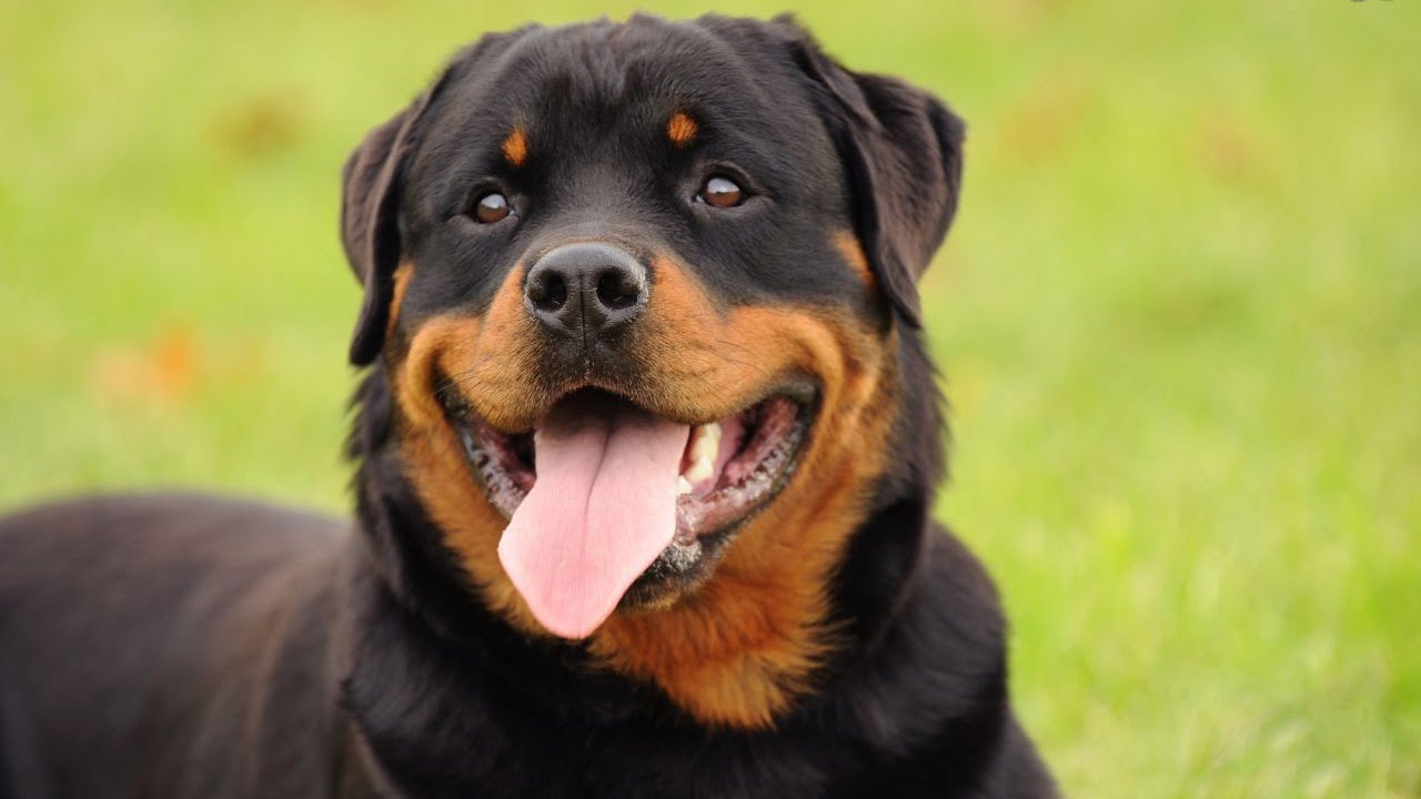 Rottweiler Facts - Youtube