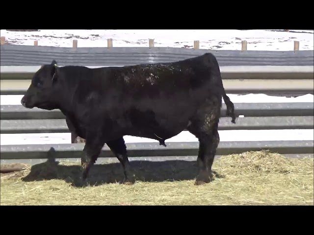Connealy Angus Lot 73