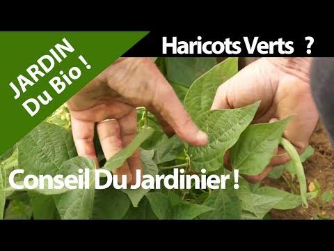 nature.-bio-?-haricots-verts.jardin,-santé,-fruits,-legumes-!