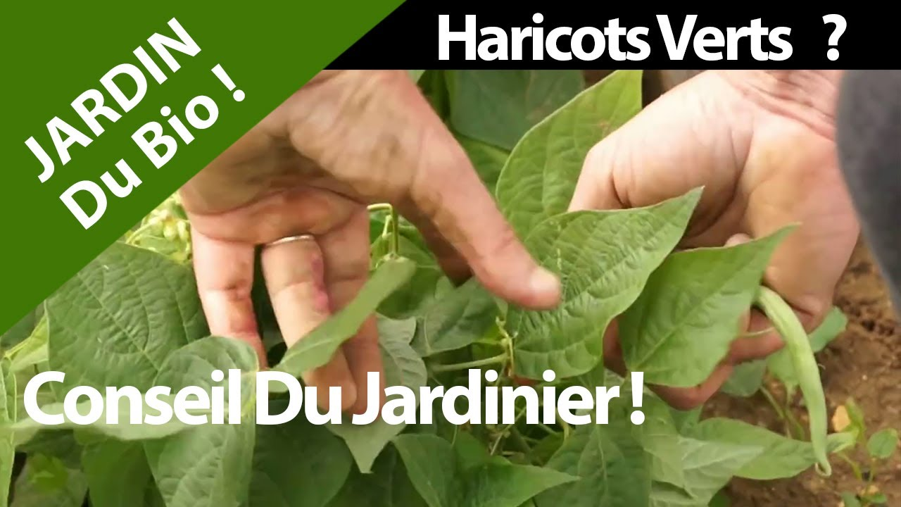 haricots verts bio jardin sant fruits legumes youtube. Black Bedroom Furniture Sets. Home Design Ideas