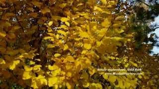 Betula medwedewii 'Gold Bark' video