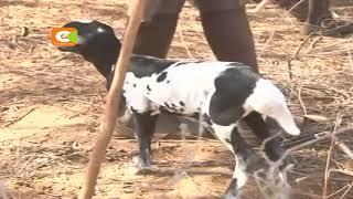 Mifugo washuka bei Maralal, Samburu