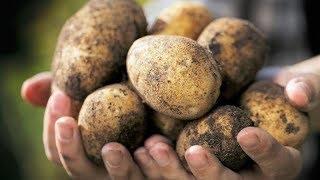 Почему в Финляндии едят неочищенный картофель, а в Европе нет?