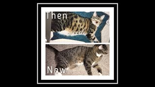How To Get Your Cat To Lose Weight!