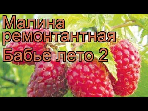 Малина ремонтантная Бабье лето 2 (babie leto) 🌿 обзор: как сажать, саженцы малины Бабье лето 2