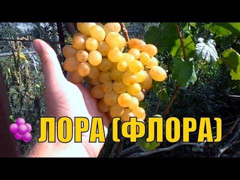 Урожайный виноград. Сорт Лора(Флора).