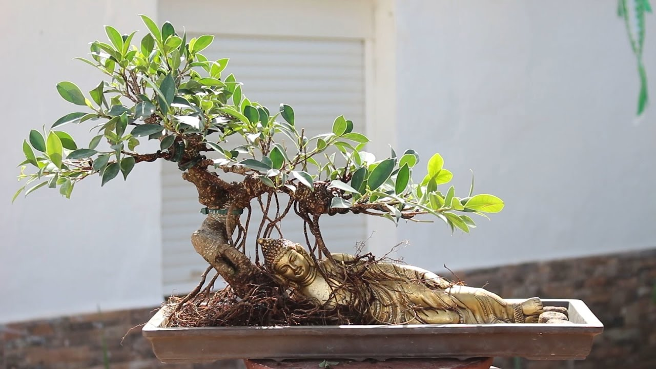 Bonsai ficus con buda tumbado youtube - Como cultivar bonsai ...