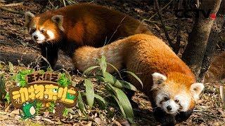 [正大综艺·动物来啦]判断题 小熊猫可以通过舌头感知到天敌的气味  CCTV