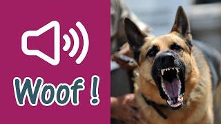 Perro pastor alemán enojado ladrando y gruñendo fuerte [3 efectos de sonido]