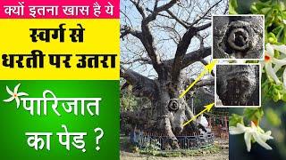 स्वर्ग से उतरा Parijat वृक्ष, और रहस्यमयी Kunteshwar Mahadev Temple, Kintoor UP