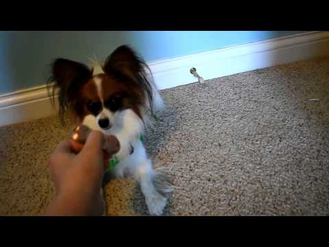 Percy the Papillon Dog: Reaction to a Fidget Spinner