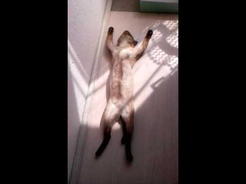 Siamese Cat Sleeping Funny