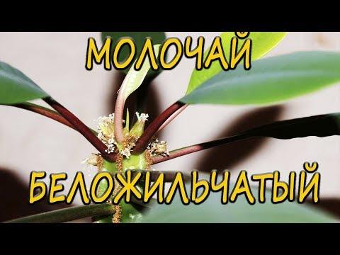 Молочай (растение) – полезные свойства и применение