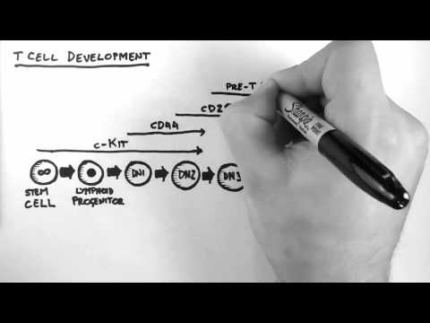 T Cell Development