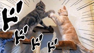 猫たちのかわいいじゃれあい動画です。 本人(猫)たちはただの挨拶代わ...