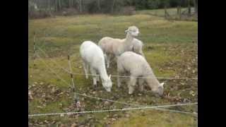 Electric Fencing 3 Training Alpacas.avi
