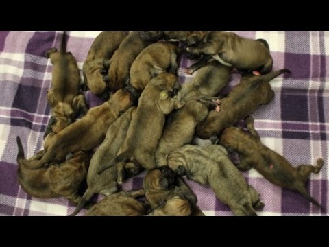 Watch Momma Dog Care For Her Litter of 19 Puppies Right After Giving Birth
