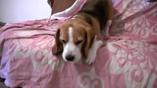 śmieszne psy, Beagle