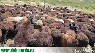 отбор молодых барашков гиссарской породы дахмарда Розика на племя