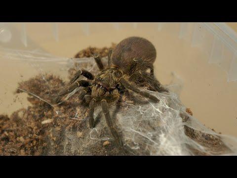 Przekładanie samicy ceratogyrus marshalli ORAZ aranżacja terrarium