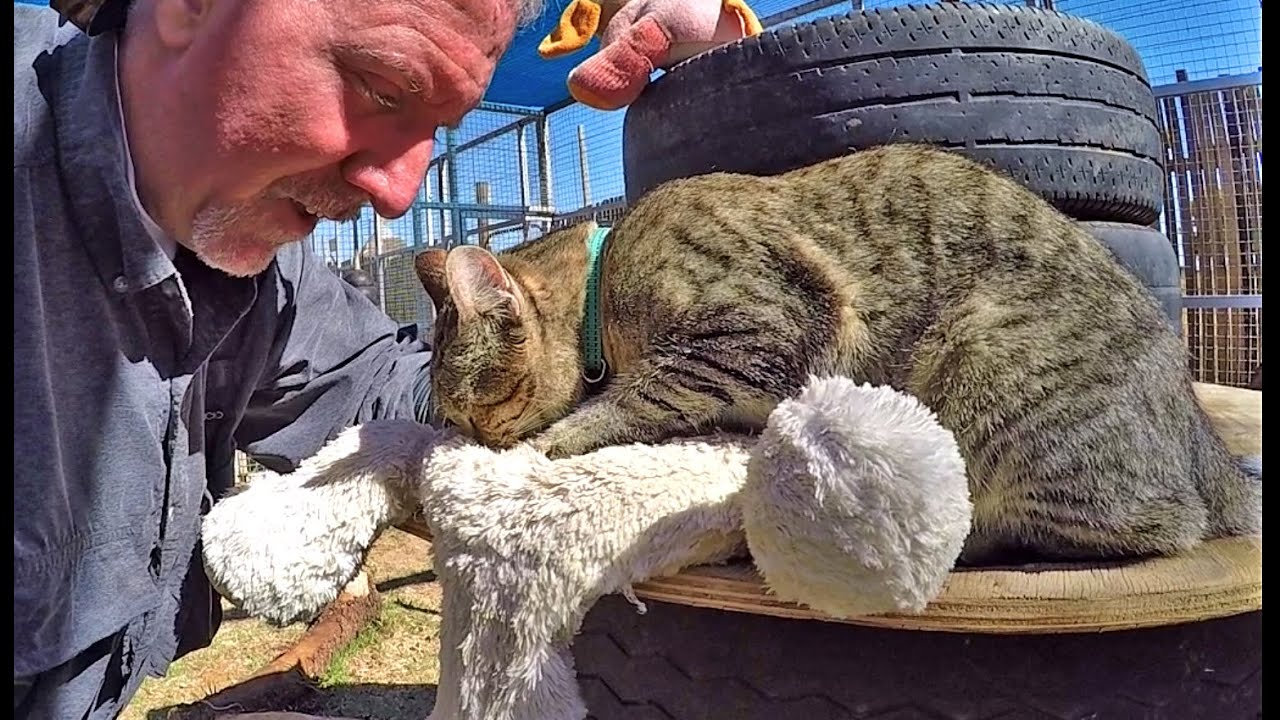 Cute African Wild Cat Purrs Kneads A Stuffed Toy Teddy Bear