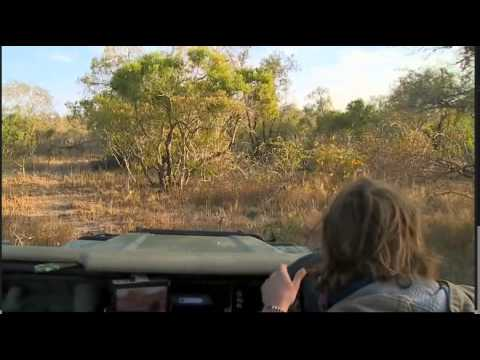 June 11 WildEarth Safari AM drive: Styx Lionesses and Cubs