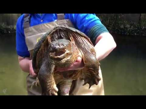 Snapping Turtle Myths W/ Christina And Boulder