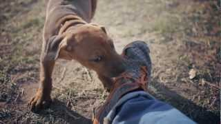 Ridgeback Puppy Makes Some Friends | The Daily Puppy
