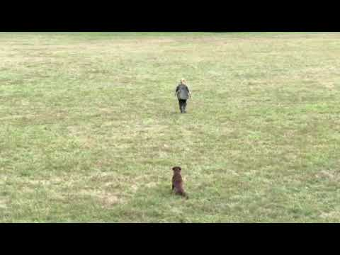 Dummy - Training  - Chesapeake Bay Retriever - Right & Go