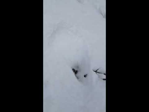 Possible Bigfoot Tracks 3-8-15
