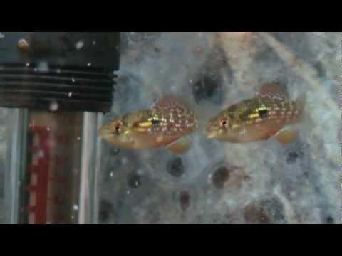 American flag fish jordanella floridae for sale at tyne for American flag fish