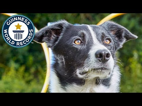 Neo, the parkour collie – Guinness World Records