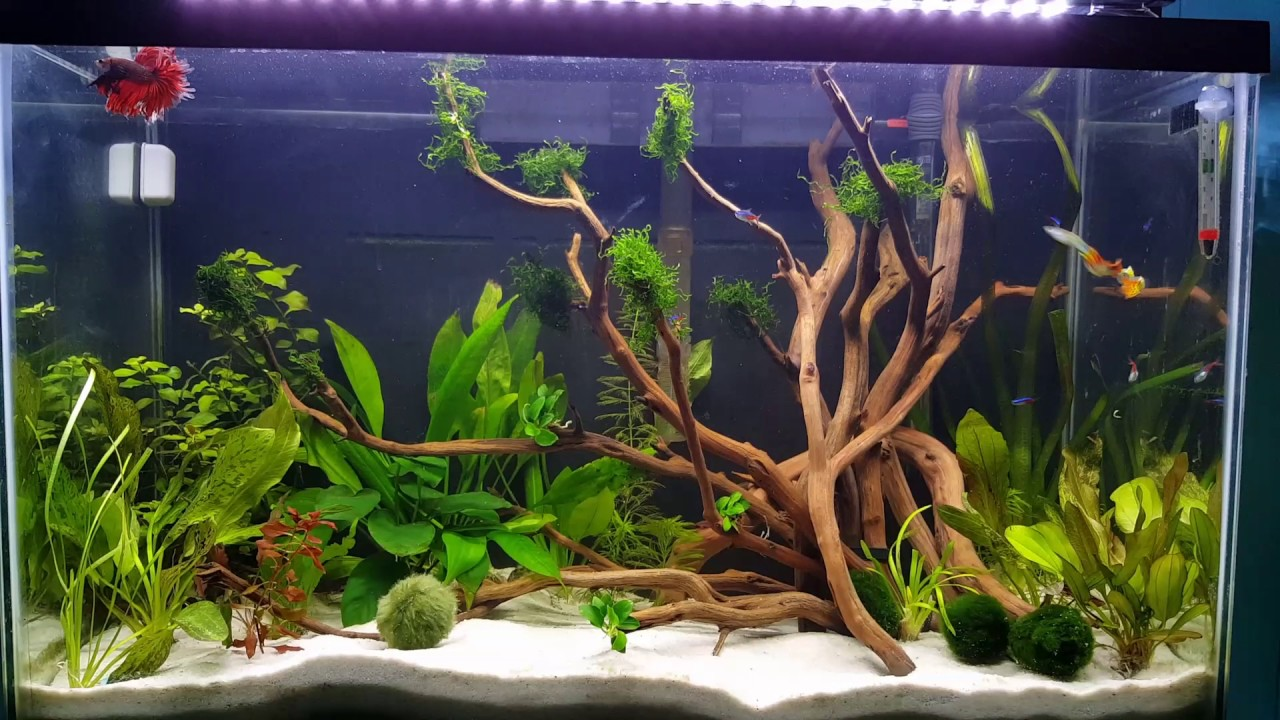 Betta fish community tank with guppies and tetras youtube for Community fish tank
