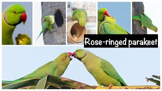 Rose-ringed parakeet  - Psittacula krameri Checkout our latest video! Here is a random compilation of ringneck parrots.   The rose-ringed parakeet, also known as the ring-necked parakeet, is a gregarious tropical Afro-Asian parakeet species that has an extremely large range.  Appearance The rose-ringed parakeet is sexually dimorphic. The adult male sports a red or black neck-ring and the hen and immature birds of both sexes either show no neck rings, or display shadow-like pale to dark grey neck rings. Indian rose-ringed parakeets measure on average 40 cm in length including the tail feathers, a large portion of their total length. Their average single wing length is about 15–17.5 cm . In the wild, this is a noisy species with an unmistakable squawking call and a distinctive green colour. It is herbivorous and non-migrating