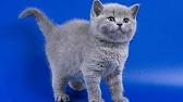 Продажа котят харьков. В сервисе объявлений olx. Ua харьков можно быстро. Заведи котенка прямо сейчас!. Золотая британская шиншилла котик.