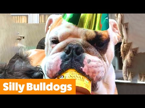 Cute Bulldog Bloopers & Reactions | Funny Pet Videos
